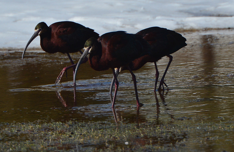 White-faced ibises wade through a puddle on the Lake Estes 9-hole golf course on Wednesday. The small flock of wading birds should grow as the weather warms and more birds head north.