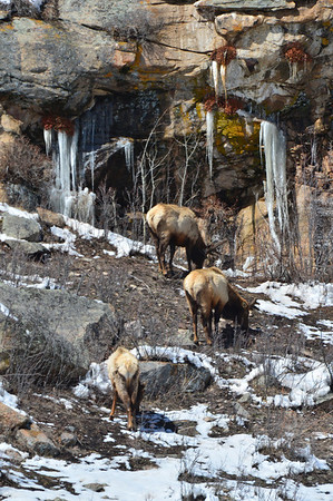 Ice, snow and bull elk cling to a slope above Horseshoe Park on Wednesday. Melting snow revealed grass and created icicles around the area.