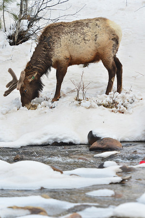 A bull elk sporting new velvety antlers digs through the snow for spring grass along the Fall River on Saturday. Temperatures should be on the rise as April winds to an end.