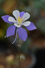 A Colorado Columbine blumes in the Rocky Mountain National Park greenhouse on Saturday. The park opened their greenhouse for public tours on Saturday in observance of Earth Day.