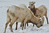 A small family of bighorn sheep root around in snow along Fall River Road in search of a meal on Saturday. The animals are used to harsh conditionsand have little problem serviving snow and cold.