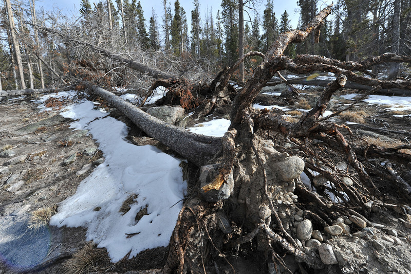 Trees in a blow-down area along Sprague Lake expose their roots on Wednesday. Lodge pole and other evergreens of the national park tend to have shallow roots, leaving them vulnerable to wind events, especially if tree near by killed by pine beetle are already weakened.