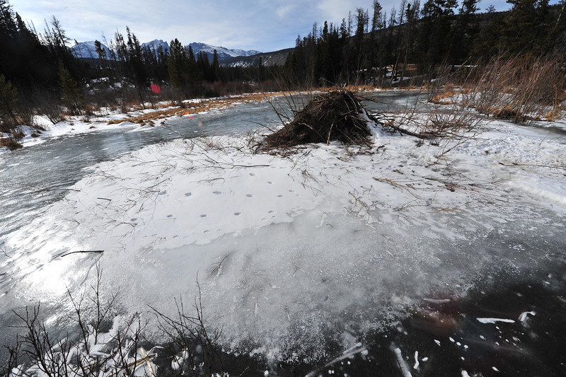 A beaver lodge sits atop a pond near Sprague Lake on Wednesday. while little activity is evident, beavers make a hole in the ice near their lodges allowing thenm to gather food and material.