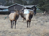 Two bull elk take a break from their jousting in early December in Estes Park.