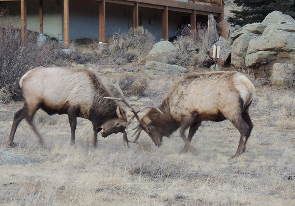 Two bull elk kick up some dust while jousting along High Drive in Estes Park in early December.