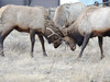 Two bull elk have their antlers locked together while jousting in early December in an Estes Park neighborhood.