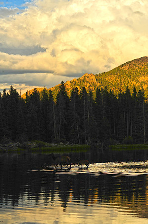29EP DtBk Through the lake.jpg Walt Hester | Trail Gazette<br /> A cow elk and her calf wade through the shallows and shadows of Sprague Lake on Wednesday as darkness falls on the national park.