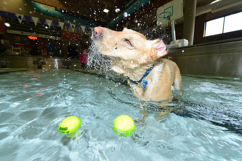 A yellow lab named Cody, belonging to Colleen Graham, shakes a little extra pool water off at the annual Pooch Plunge at the Estes Park Aquatic Center on Friday. The Park and Recreation district holds the event every spring before they drain and clean the public pool.