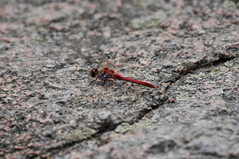 Photo by Walt Hester<br /> A dragonfly stops for a brief moment on a rock along Bear Lake Road on Wednesday.