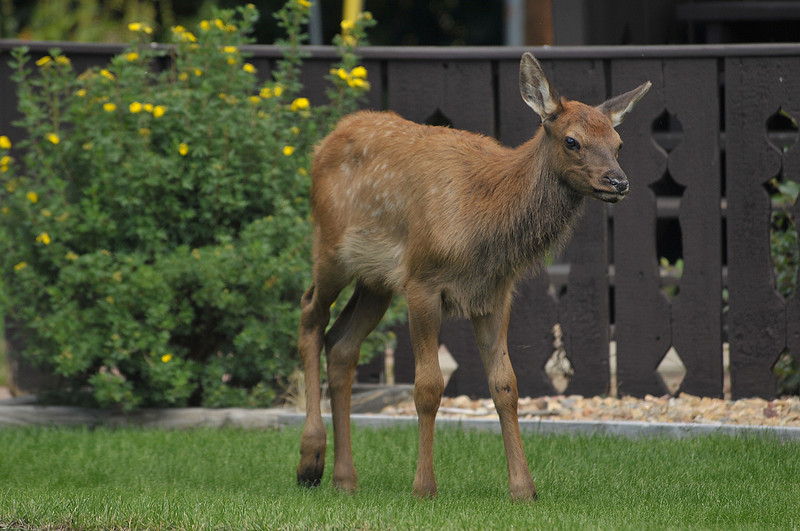 Photo by Walt Hester<br /> An elk calf trots out from between cabins at the Elkhorn Lodge on Monday.