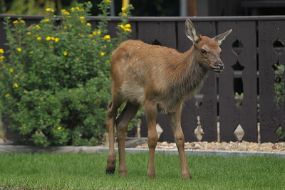 Photo by Walt Hester An elk calf trots out from between cabins at the Elkhorn Lodge on Monday.