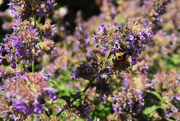 Photo by Walt Hester<br /> A bee makes the rounds along the banks of the Fall rRiver near Elkhorn Avenue on Monday.