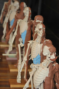 Photo by Walt Hester A row of anatomy models stand half-muscled at the Elkhorn Lodge on Monday. The models and their clay muscles were part of a learning program called Anatomy in Clay (R) which help to engage a variety of learning styles and anatomy applications to better learn muscular anatomy.