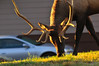 Photo by Walt Hester<br /> A velvetless bull grazes in warm morning light along Moraine Avenue on Wednesday. Several bulls have already shed their velvet, a sign of the coming fall.