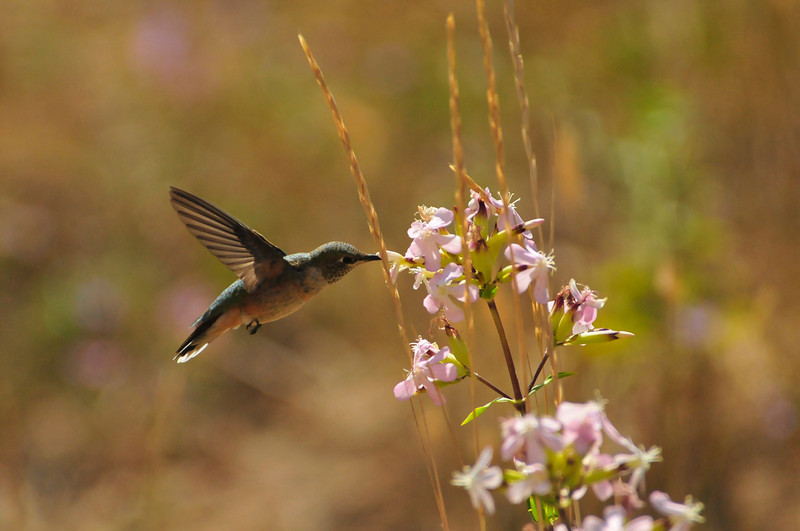 Photo by Walt Hester<br /> A humming bird stabs at a bloom at the YMCA of the Rockies on Tuesday. The birds are still hanging around the Estes Park area, preparing for their fall migration.