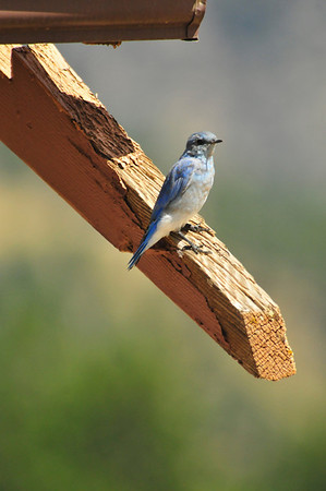 Photo by Walt Hester<br /> A bluebird perches on the edge of a building at the YMCA of the Rockies on Tuesday.