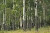 Photo by Walt Hester<br /> Aspens stand along the Old Fall River Road on Thursday.