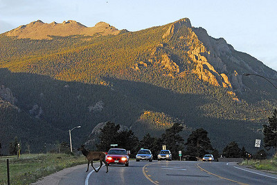A line of cars is slowed on Thursday morning by an elk crossing S. St. Vrain Avenue. Photo by Walt Hester.