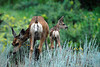 Photo by Walt Hester<br /> A doe and one of a pair of twin fawns grazes along Brodie Avenue on Monday evening.