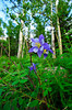 Photo by Walt Hester<br /> A columbine springs up near Lily Lake on Monday.