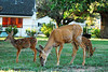 Photo by Walt Hester<br /> A family of deer graze on a lawn along S. St. Vrain Avenue on Friday morning.