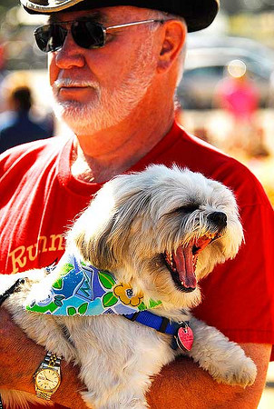 Photo by Walt Hester<br /> Molly, a Lhasa Opso, yawns while traveling around the Estes Valley Farmers' Market with owner Paul Harball of Estes Park on Thursday.
