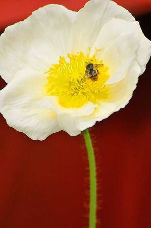 Photo by Walt Hester<br /> A bee crawls around a white poppy in Allenspark on Sunday.