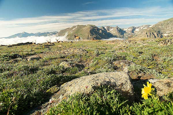 Photo by Walt Hester<br /> Bull elk and tiny alpine sunflowers dot the alpine landscape near Forest Canyon Overlook on Tuesday.