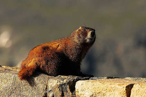 Photo by Walt Hester<br /> A marmot eyes visitor to his alpine home on Tuesday. Marmots are a very large cousin to rabbits and chipmonks