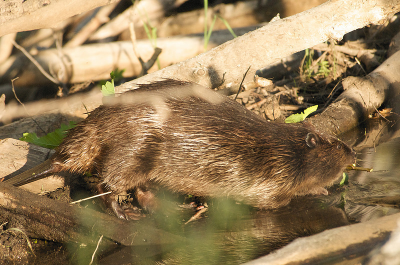 Photo by Walt Hester<br /> A beaver drags a branch across its dam near Fish Creek Road on Thursday evening.