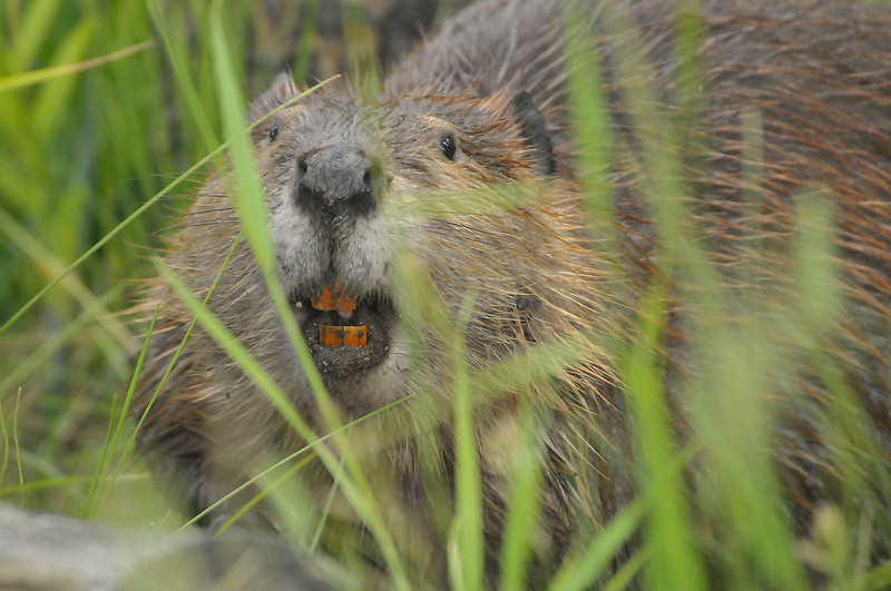 Photo by Walt Hester<br /> A beaver looks around from the edge of its pond on Thursday evening.