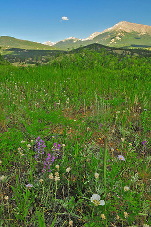 Photo by Walt Hester<br /> Wildflowers peek up out of a grassy hillside south of Longs Peak, Mt. Meeker and Pagota Peak on Thursday
