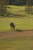 Photo by Walt Hester<br /> A bull elk munches his way across a fairway on the Estes Park public 18-hole golf course on Thursday.
