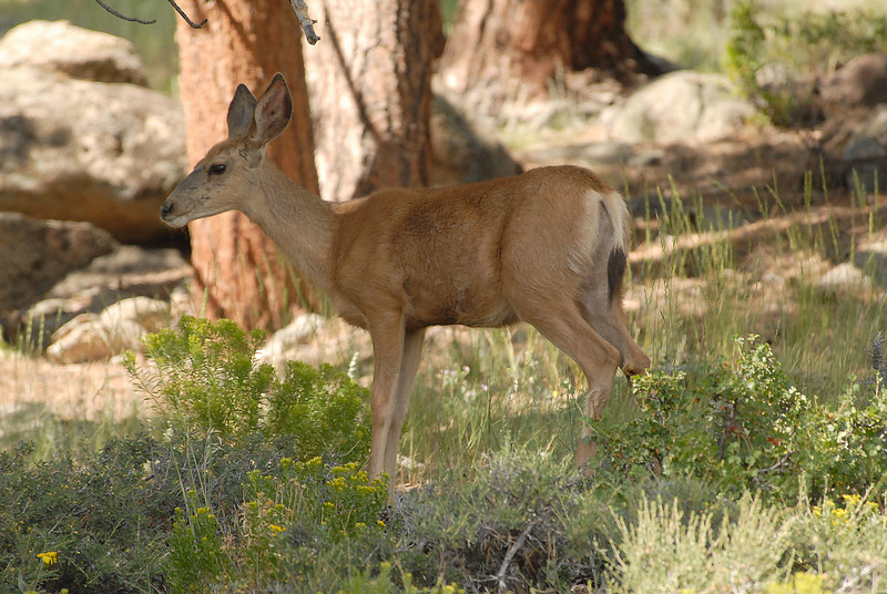 Photo by Walt Hester<br /> A deer stands and watches visitors pass by above Upper Beaver Meadows on Thursday.