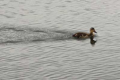 Photo by Walt Hester A duckling cruises across Lily Lake on Wednesday
