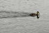 Photo by Walt Hester<br /> A duckling cruises across Lily Lake on Wednesday