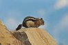 Photo by Walt Hester<br /> A chunky chipmonk seems to search for a soft landing off of the Estes Park sign along US 36 east of town.