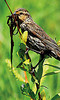 Big lunch A bird holds a large bunch of weeds in its beak while perched along Fish Creek Road on Saturday. Photo by Walt Hester