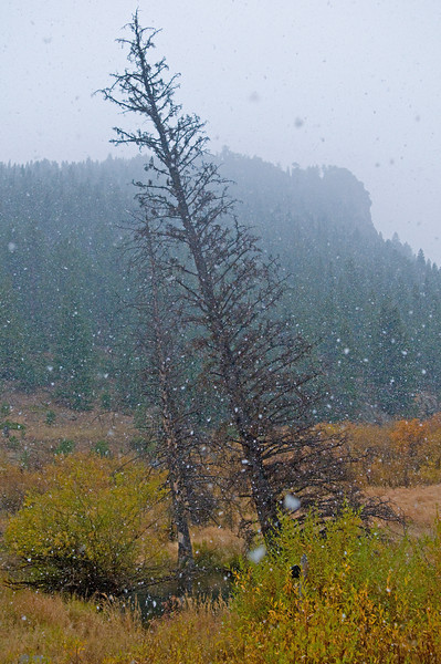 Photo by Walt Hester<br /> Large snow flakes drift down upon orange and gold leaves of willows in the McGraw Ranch area in Rocky Mountain National Park on Sunday. An up-slope cold front moved into the Estes Park area, dropping light snow and rain, as well as dropping temperatures.