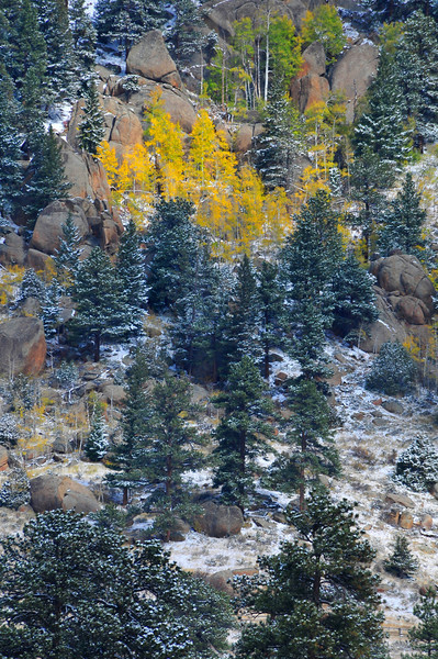 Photo by Walt Hester<br /> A stubborn stand of Aspens pops out against the snow and evergreens on Lumpy Ridge on Friday.
