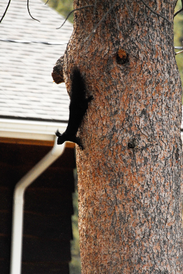 Photo by Walt Hester<br /> A black squirrel hangs head-down on a tree, watching for air-born rivals, in a backyard in Carriage Hills on Wednesday.