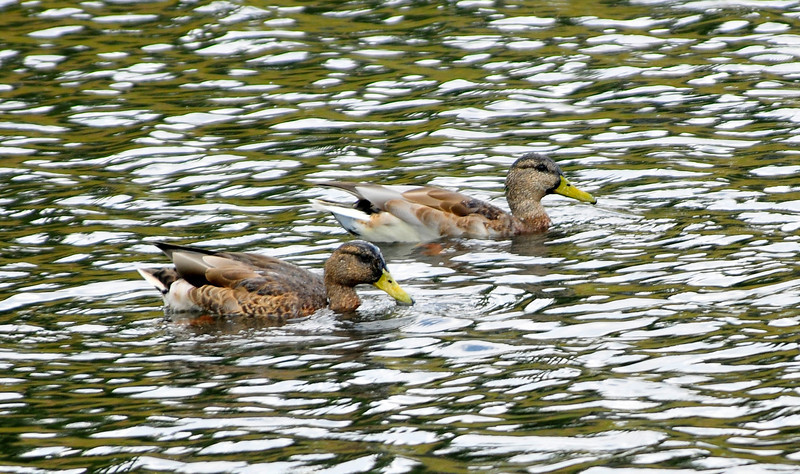 Photo by Walt Hester<br /> Ducks float across a pond near Scott Avenue on Wednesday.