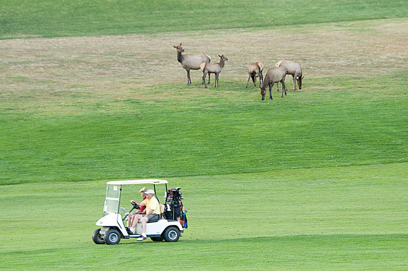 Photo by Walt Hester<br /> Golfers motor through the 18-hole course past elk grazing on the course. Estes Park has special elk-related rules on the courses in town to keep golfers safe.