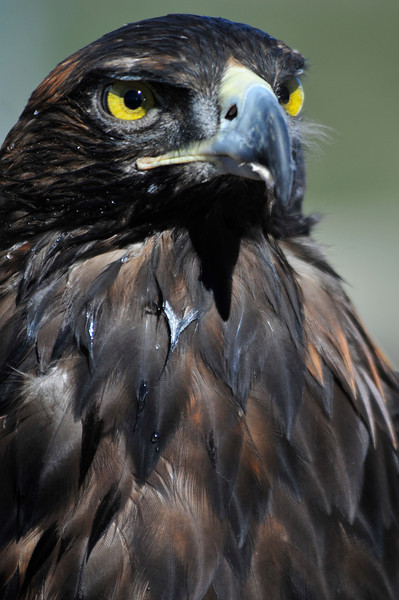 Photo by Walt Hester<br /> A golden eagle stares out at the gathering crowd around the Rocky Mountain Raptor Rescue tent at the ScotFest on Sunday. The foundation rescues and rehabilitates birds of prey in Colorado.