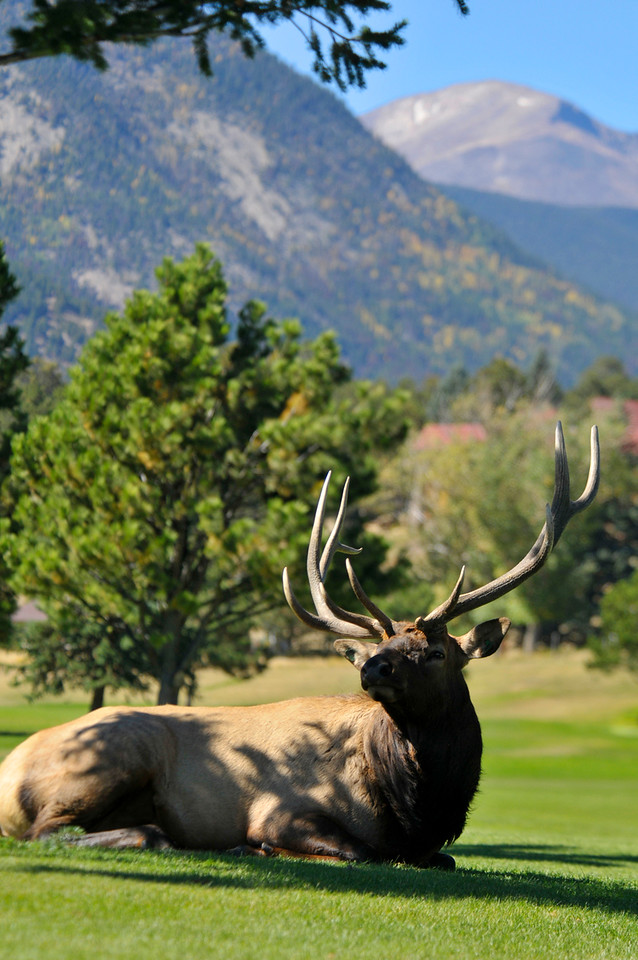 Photo by Walt Hester<br /> A large bull elk lounges on the 9-hole golf course along Lake Estes on Sunday. The public courses are as popular with elk as they are with duffers in autumn.