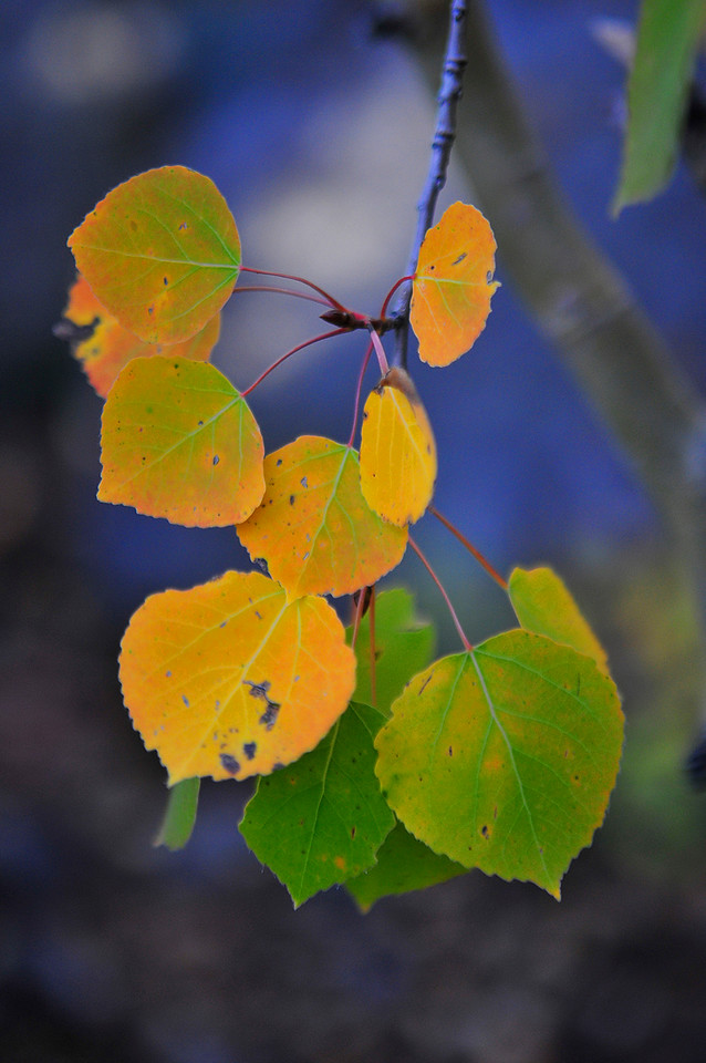 Photo by Walt Hester<br /> A closer view of the aspen leaves. Color is fleeting in early autumn. Winds, rian and even snow could sweep in in the next few weeks to knock the leaves from branches.