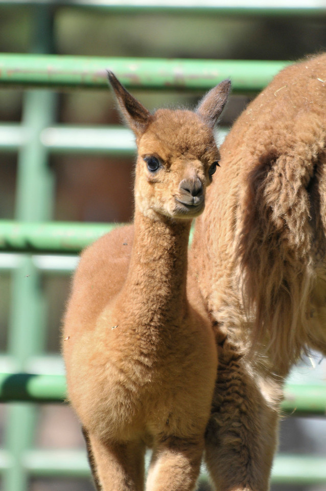 Photo by Walt Hester<br /> The newest and smallest of Switzer-land's alpacas sticks close to it's mother on Friday, August 27. The new alpaca was less than a week old.