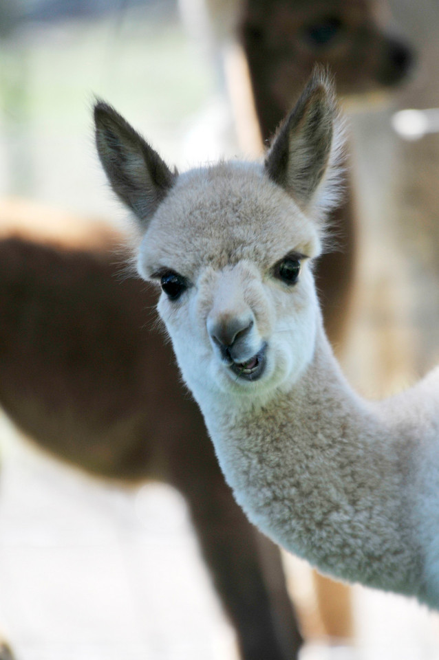 Photo by Walt Hester<br /> One of a few new alpacas watches visitors to the Switzer-land Alpaca Farm on Friday, August 27.
