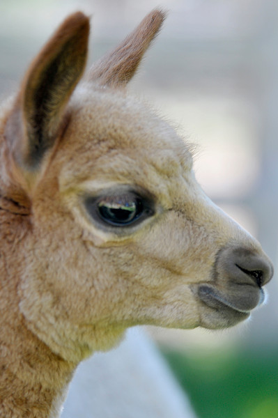 Photo by Walt Hester<br /> A young alpaca shows off it's huge eyes and lashes on Friday, August 27. The Adean pack animals will be showing off their big eyes, as well as their thick wool, at the annual Alpaca Show at the Stanley Fairgrounds over the Labor Day weekend.