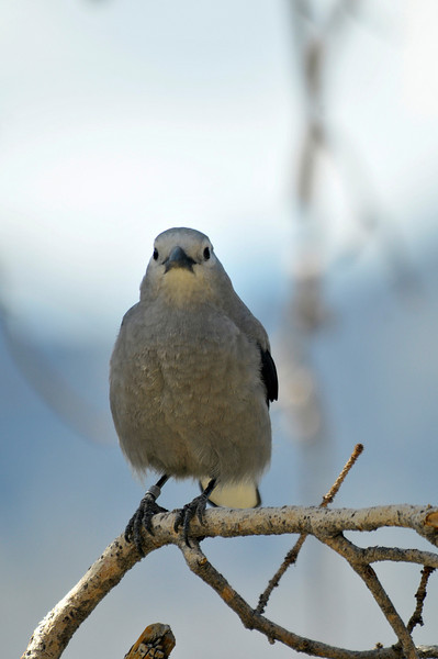 03EP DtBk You lookin' at me_.jpg Photo by Walt Hester<br /> A Clark's nutcracker purches on a branch above a pullout along Trail Ridge Road on Wednesday.